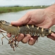 DISEASE, BREEDING DIFFICULTIES CRUSHING HOPES OF BLACK TIGER SHRIMP FARMERS (August 4th, 2017)